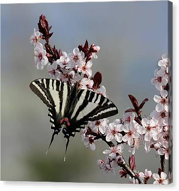 Ornamental Plum Blossoms With Zebra Swallowtail Canvas Print by Lara Ellis