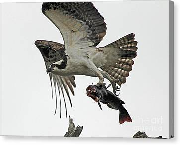 Canvas Print featuring the photograph Osprey - Catfish by Larry Nieland