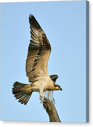 Canvas Print featuring the photograph Osprey After Flight by Rick Frost