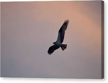 Osprey Against The Colorful Sky Canvas Print