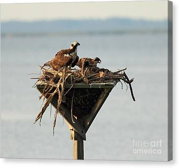 Osprey And Chicks Canvas Print by Ursula Lawrence
