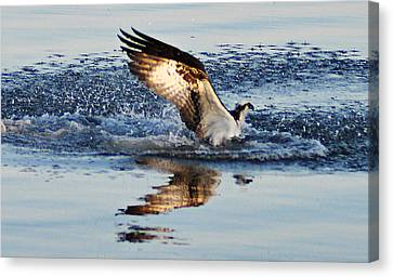 Osprey Crashing The Water Canvas Print by Bill Cannon
