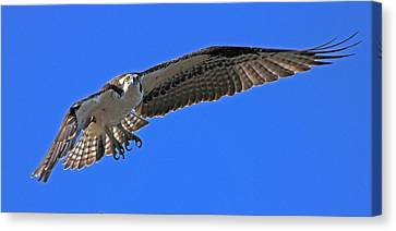 Canvas Print featuring the photograph Osprey Flight by Larry Nieland
