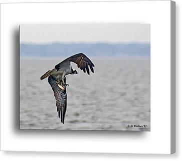 Osprey Grab Canvas Print by Brian Wallace