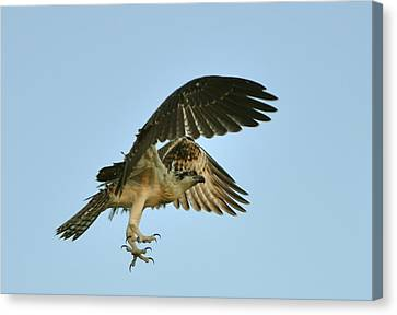 Canvas Print featuring the photograph Osprey In Flight by Rick Frost