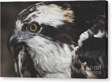 Canvas Print featuring the photograph Osprey by Lydia Holly