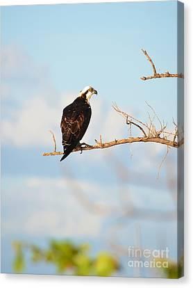 Osprey On Branch Canvas Print by Lynda Dawson-Youngclaus