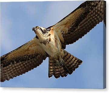 Osprey Canvas Print by Phil Lanoue