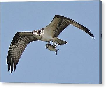 Osprey With The Catch Of The Day Canvas Print by Paulette Thomas