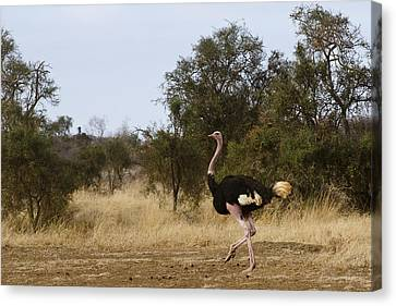 Ostrich Prance Canvas Print by Marion McCristall