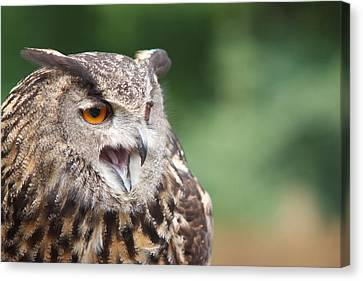 Owl Canvas Print by Josef Pittner
