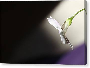 Oxalis Bloom Canvas Print by Kume Bryant