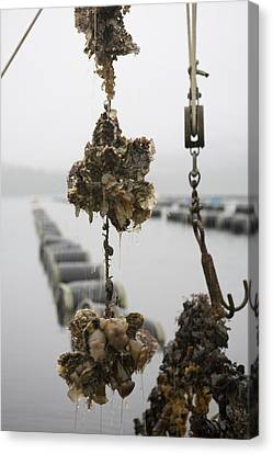Oysters Pulled Up From A Farm Covered Canvas Print
