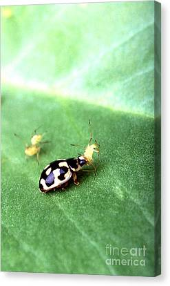 P-14 Lady Beetle Feeding On A Pea Aphid Canvas Print by Science Source