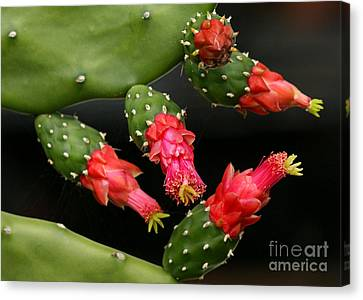 Paddle Cactus Flowers Canvas Print by Sabrina L Ryan