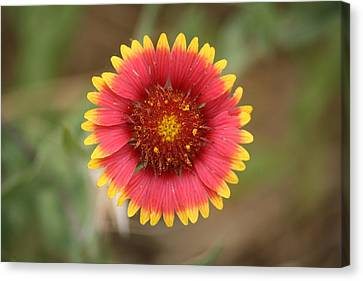 Canvas Print featuring the photograph Painted Blanket Flower by Donna  Smith