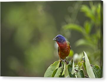 Painted Bunting - 1793 Canvas Print