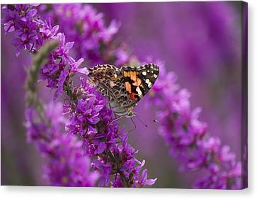 Painted Lady 2 Canvas Print by Michel DesRoches