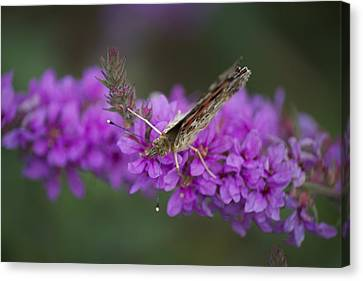 Painted Lady Looking Canvas Print by Michel DesRoches