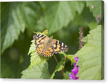 Painted Lady Canvas Print by Michel DesRoches