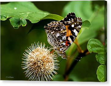 Canvas Print featuring the photograph Painted Lady On Button Bush by Travis Burgess