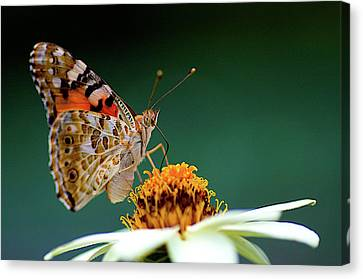 Painted Lady  Vanessa Cardui Canvas Print by Jim Mayes