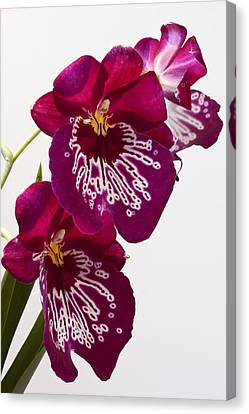 Canvas Print featuring the photograph Painted Orchid by Shirley Mitchell