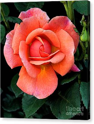 Canvas Print featuring the photograph Painted Rose by Cindy Manero
