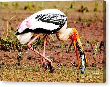 Painted Stork Feeding Canvas Print by Pravine Chester