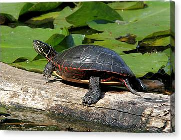 Painted Turtle On Log Canvas Print