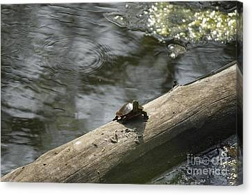 Canvas Print featuring the photograph Painted Tuttle by Yumi Johnson