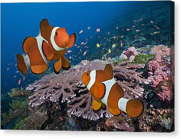 Pair Of Clownfish On Tropical Coral Reef Canvas Print by Jeff Hunter