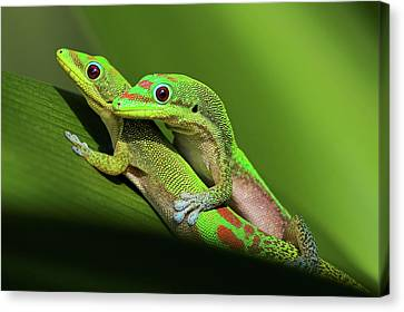 Pair Of Mating Green Geckos Canvas Print