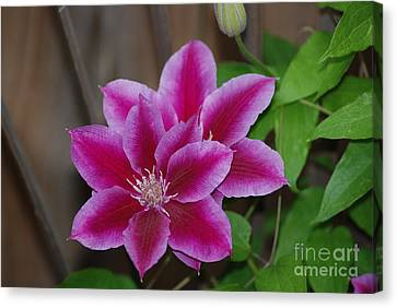 Pair Of Pink Clematis Canvas Print by Mark McReynolds