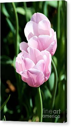 Pair Of Pink Tulips Canvas Print by Mark McReynolds
