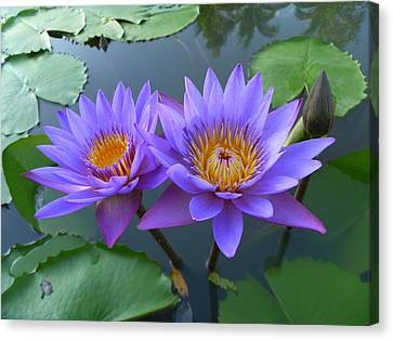 Pair Of Purple Lotuses Canvas Print by Gregory Smith