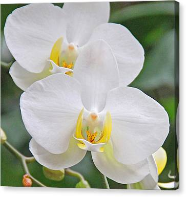 Pair Of White Orchids Canvas Print by Becky Lodes
