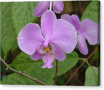 Canvas Print featuring the photograph Pale Pink Orchid by Charles and Melisa Morrison