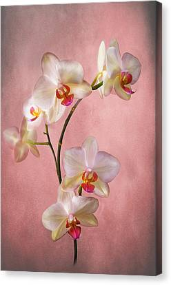 Pale Pink Orchid Spray Canvas Print by Jacqi Elmslie