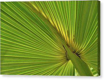 Canvas Print featuring the photograph Palm Leaf II by JD Grimes