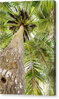 Palm Tree From Below With Coconut Fruit Canvas Print by Anya Brewley schultheiss