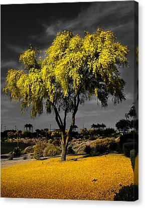 Palo Verde Canvas Print by Jim Painter