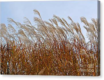 Pampas Grass In The Wind 1 Canvas Print by Mary Machare