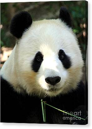 Canvas Print featuring the photograph Panda by Anne Raczkowski