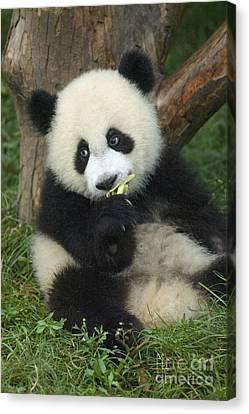 Canvas Print featuring the photograph Panda Cuteness by Craig Lovell