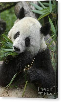 Canvas Print featuring the photograph Panda Having Lunch by Craig Lovell