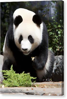 Panda Canvas Print by Paul Svensen