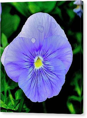 Canvas Print featuring the photograph Pansy by Helen Haw