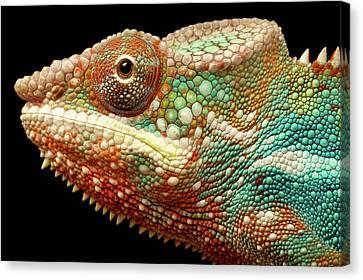 Panther Chameleon Canvas Print by MarkBridger