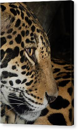 Panthera Onca In Profile Canvas Print by Sym